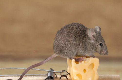 موش در خانه
